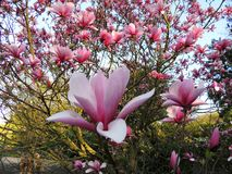 Galaxie de magnolia pendant la floraison image stock