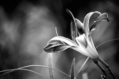 Galaxy Explosion Daylily black and white Stock Image