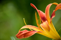 Galaxy Explosion Daylily Royalty Free Stock Image