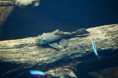 Galaxy pleco (Leporacanthicus galaxias) Stock Images