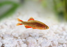 Galaxy Rasbora Danio margaritatus, pearl danio aquarium fish Stock Photos