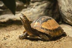 Galbinifrons Cuora (черепаха) Стоковая Фотография