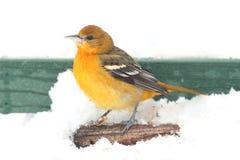 巴尔的摩galbula黄疸金莺类 图库摄影