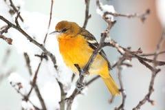 树的巴尔的摩金莺(黄疸galbula) 库存图片