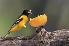 Galbula do norte masculino de Baltimore Oriole Icterus que come uma laranja fotos de stock royalty free