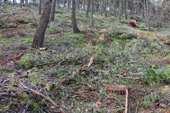 After gale. Pine forest damage after a gale Stock Photos