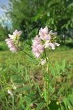 Galega oder Geißraute (Galega officinalis) Stockbild