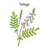 GalegaGalegaofficinalis, gets-rue, fransk lila, italienare fitch eller professor-ogräs, medicinalväxt vektor illustrationer