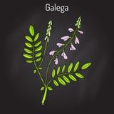 GalegaGalegaofficinalis, gets-rue, fransk lila, italienare fitch eller professor-ogräs, medicinalväxt stock illustrationer