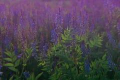 Galegaofficinalisget-rue eller fransk lila i blom Härliga violetta blommor i ett sommarfält arkivbilder