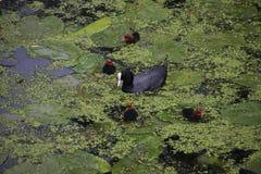Galeirão comum na água com os pintainhos novos na água entre a lentilha-d'água e as folhas do lírio de água imagens de stock