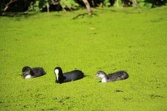 Galeirão pintainhos de um galeirão em um lago imagem de stock royalty free