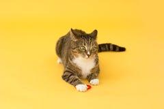 Galen greeneyed katt för strimmig katt som spelar med leksaken Royaltyfria Foton
