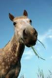galen häst royaltyfri foto