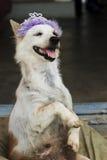 Galen hund Fotografering för Bildbyråer