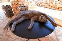 Galen katt Royaltyfria Bilder