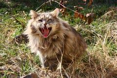galen katt Royaltyfri Foto