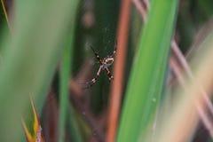 Galen spindel för spöke arkivbild