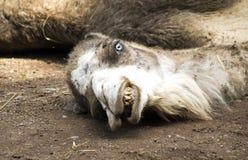 Galen synad kamel som vilar på jordningen Royaltyfria Foton
