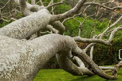 Galen Tree Royaltyfri Fotografi