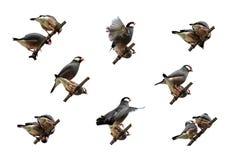 Galeria isolada da ação de Java Sparrow Imagem de Stock Royalty Free