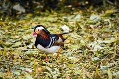 Galericulata d'Aix d'oiseau Images libres de droits