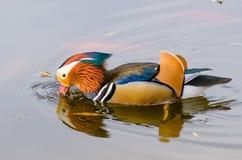 Galericulata del Aix del pato de mandarín imagen de archivo