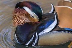 Galericulata del Aix del pato de mandarín en el río Saar en Saarlouis/ Imagen de archivo