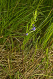 Galericulata Scutellaria Στοκ Φωτογραφίες