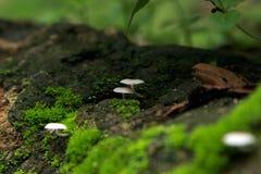 Galerina-hypnorum Pilz Lizenzfreie Stockfotos