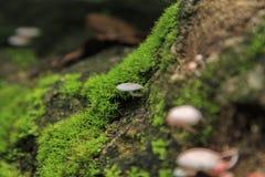Galerina-hypnorum Pilz Stockfoto