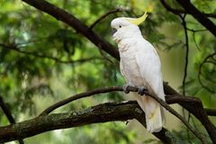 Galerita del Cacatua - cacatúa Azufre-con cresta que se sienta en la rama en Australia Cacatúa blanca y amarilla grande con el ba imagen de archivo libre de regalías