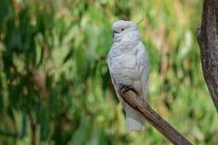 Galerita del Cacatua - cacatúa Azufre-con cresta que se sienta en la rama en Australia Cacatúa blanca y amarilla grande con el ba imagen de archivo