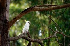 Galerita del Cacatua - cacatúa Azufre-con cresta que se sienta en la rama en Australia Cacatúa blanca y amarilla grande con el ba fotos de archivo libres de regalías