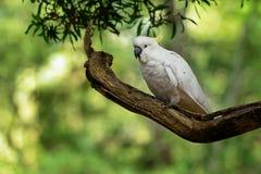 Galerita del Cacatua - cacatúa Azufre-con cresta que se sienta en la rama en Australia Cacatúa blanca y amarilla grande con el ba foto de archivo