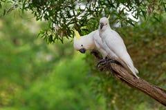 Galerita del Cacatua - cacatúa Azufre-con cresta que se sienta en la rama en Australia Cacatúa blanca y amarilla grande con el ba imágenes de archivo libres de regalías