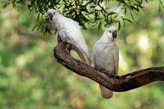 Galerita del Cacatua - cacatúa Azufre-con cresta que se sienta en la rama en Australia Cacatúa blanca y amarilla grande con el ba foto de archivo libre de regalías