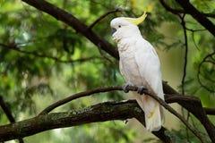 Galerita del Cacatua - cacatúa Azufre-con cresta que se sienta en la rama en Australia Cacatúa blanca y amarilla grande con el ba fotografía de archivo