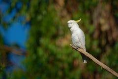 Galerita del Cacatua - cacatúa Azufre-con cresta que se sienta en la rama en Australia Cacatúa blanca y amarilla grande con el ba fotos de archivo