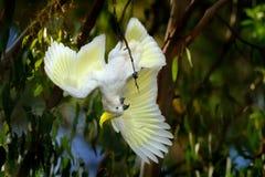 Galerita del Cacatua - cacatúa Azufre-con cresta que se sienta en la rama en Australia Cacatúa blanca y amarilla grande con el ba fotografía de archivo libre de regalías