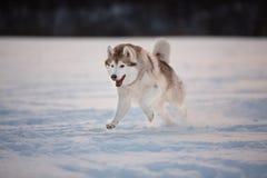 Galet, lyckligt och gulligt beige och vitt skrovligt köra för hundavelsiberian på snöbanan i fältet royaltyfria foton