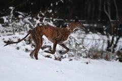 Galgo бежать в снеге Стоковые Фотографии RF