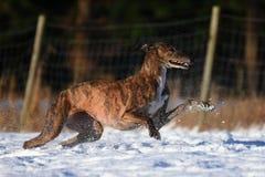 Galgo бежать в снеге Стоковое Фото