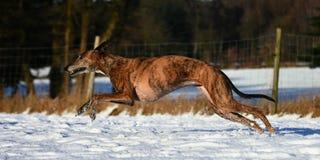 Galgo бежать в снеге Стоковое фото RF
