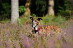 Galgo в поле вереска Стоковая Фотография RF