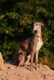 Galgo сидя на куче песка Стоковые Фото