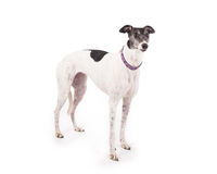 Galgo Fotos de Stock Royalty Free