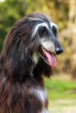 Galgo afegão do cão Fotos de Stock