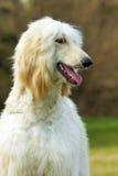 Galgo afegão do cão Fotos de Stock Royalty Free