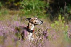 Galgo auf einem Gebiet von Heide Lizenzfreie Stockfotografie